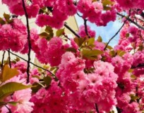 Subaru Cherry Blossom Festival Represents Fragility, Beauty of Life at Shofuso Japanese House and Garden in Philadelphia